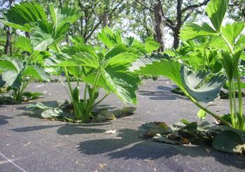 Агроткань: использование в саду и огороде