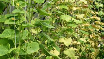 Пятна на листьях огурцов – из-за чего появляются, что делать и чем лечить