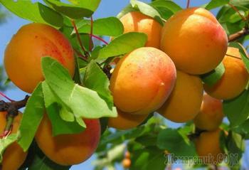Знакомимся с гибридом сливы и абрикоса