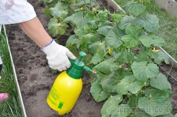 Зеленка бриллиантовая — использование в огороде, как народное средство для защиты растений и овощей