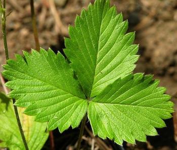 Лечебные свойства листьев земляники