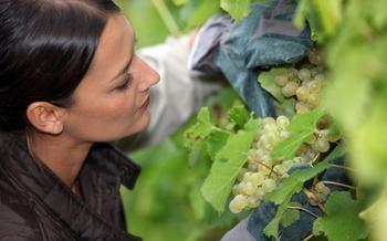 У вашего винограда желтеют и засыхают листья? Узнайте, что нужно делать