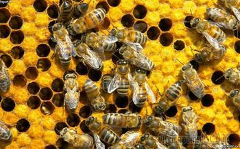 Вещи, которые пропадут навсегда, если исчезнут пчелы