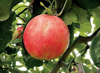 Яблоня «Солнышко»: описание сорта, достоинства и недостатки