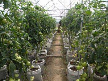 28 способов ускорить созревание томатов, перца, баклажанов и других овощей