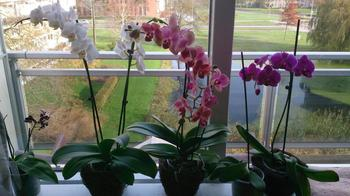 Орхидея засыхает: что делать, поиск причин, правила ухода