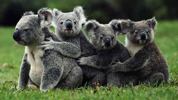 Самые удивительные факты о коалах