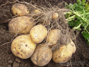 Какие сорта картофеля могут легко приспосабливаться к суровому климату