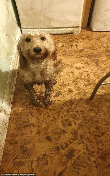 Собачка, которая изгваздала в грязи всю кухню, но избежала наказания