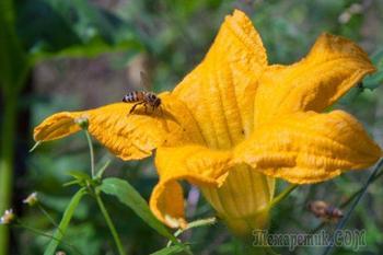 Кабачки цветут, а завязи нет. Что делать