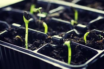Как правильно поливать рассаду на подоконнике, в теплице и грунте