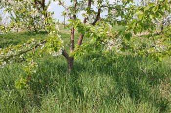 Брянская розовая — черешня в центре России