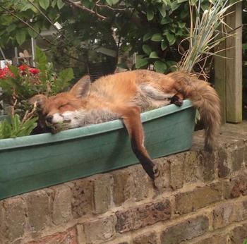 20 неожиданных встреч с лисичками, которые и напугали, и обрадовали их участников