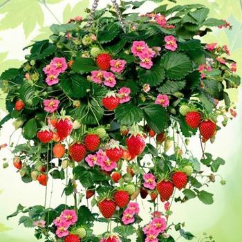 посадить как клубнику правильно осенью