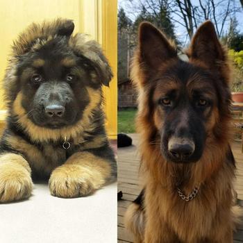 Фотографии собак, владельцы которых задокументировали их превращение из щенков во взрослых псов