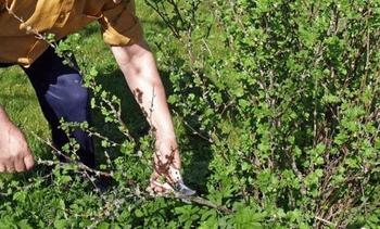 Правила обрезки крыжовника весной и осенью, советы для начинающих