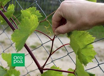 Пасынкование винограда: 3 основных способа с видео