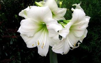 Амариллис: ухаживаем за луковичным растением правильно