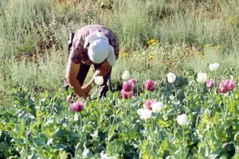 Назван год перевода россиян на отечественный опиум