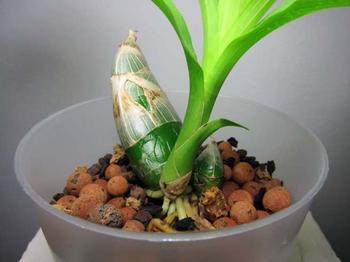 Назначение и внешний вид псевдобульбы у орхидеи