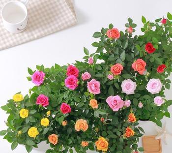 Роза горшечная: фото, выращивание и уход в домашних условиях