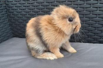 Маленький безухий кролик Лео