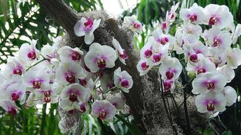Уход за орхидеей-бабочкой: посадка, уход, подкормки