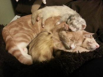 Нед – котенок, который дружит с хорьками