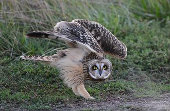 Вопрос на засыпку: как совам удаётся так виртуозно вертеть головой?