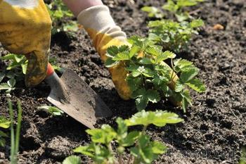 Что посадить после клубники