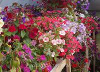 Королевское Общество Садоводов : Размножение растений- Ахименес