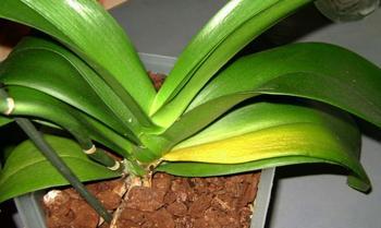 У орхидеи желтеют листья: причины и что делать