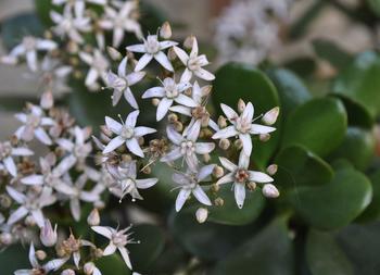 Почему не цветет денежное дерево?