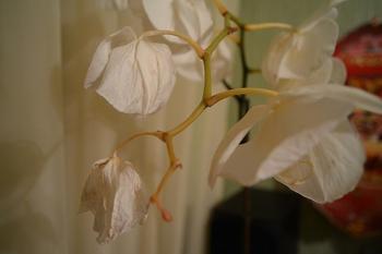 Бутоны орхидеи опадают до раскрытия: как быть