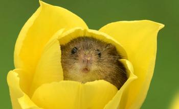 Фотограф снял, как мышки-малютки прячутся в тюльпанах, и мы не можем перестать смотреть на это