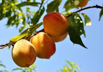 Чем подкормить персик после цветения?