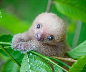 20 очаровательно милых ленивцев
