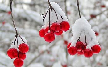 Калина красная — свойства и противопоказания