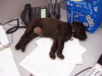 Офисные собаки или Что будет, если взять с собой на работу питомца?
