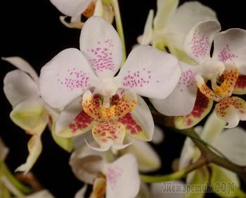 Как вылечить больные орхидеи?