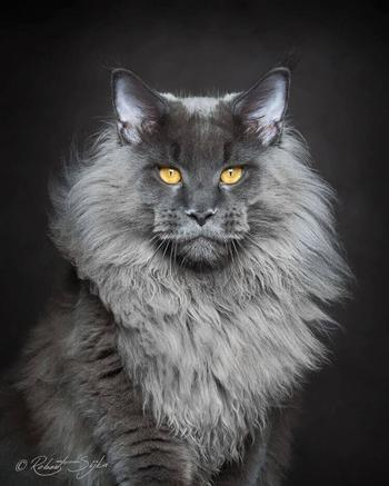 Фотограф запечатлел мистическую красоту мейн-кунов, самых величественных котов в мире