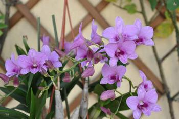 Описание культуры Дендробиум Фаленопсис: посадка и уход за цветком