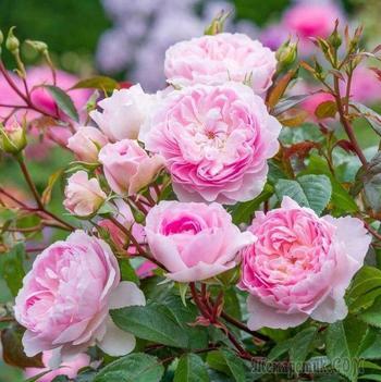 Какие розы купить этой осенью: новые сорта 2020