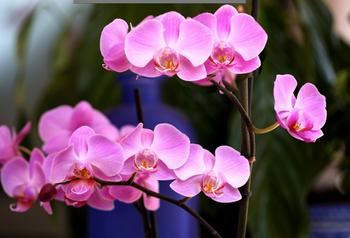 Орхидея Фаленопсис: размножение в домашних условиях