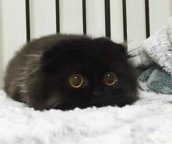 Лупоглазый кот по кличке Гимо