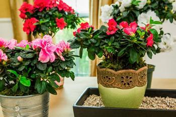Азалия: пересадка растения в домашних условиях