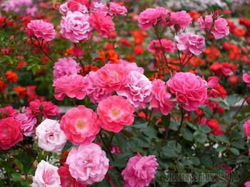 Роза полиантовая: выращивание и уход