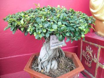 Особенности выращивания фикуса Гинсенг