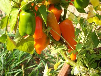 Как вырастить перец в открытом грунте в Средней полосе