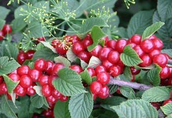 Различные сорта войлочной вишни — особенности и различия, фото